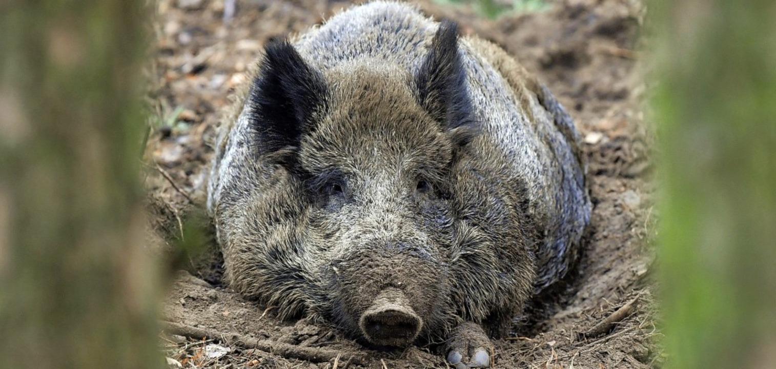 Vor allem Wildschweine haben die Jäger...agvormittag im Röttlerwald im Visier.   | Foto: dpa