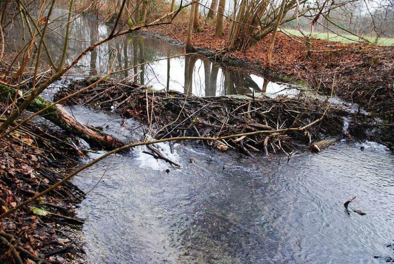 Mit einem Damm haben Biber einen Bachlauf im Gottenheimer Wald aufgestaut.  | Foto: Manfred Frietsch