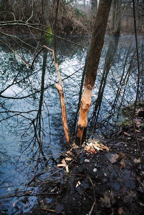 Auch wo geknabbert wird, fallen Späne.  | Foto: Manfred Frietsch