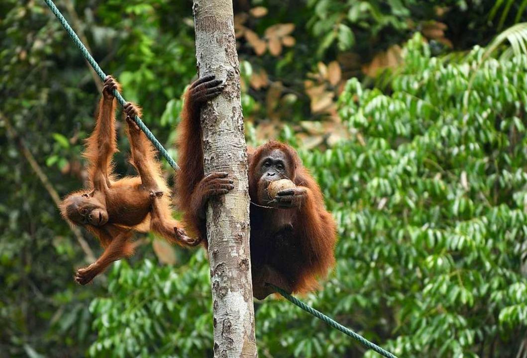 Mama und Nachwuchs im Semenggoh Wildlife Rehabilitation Centre auf Borneo  | Foto: Juliette Irmer