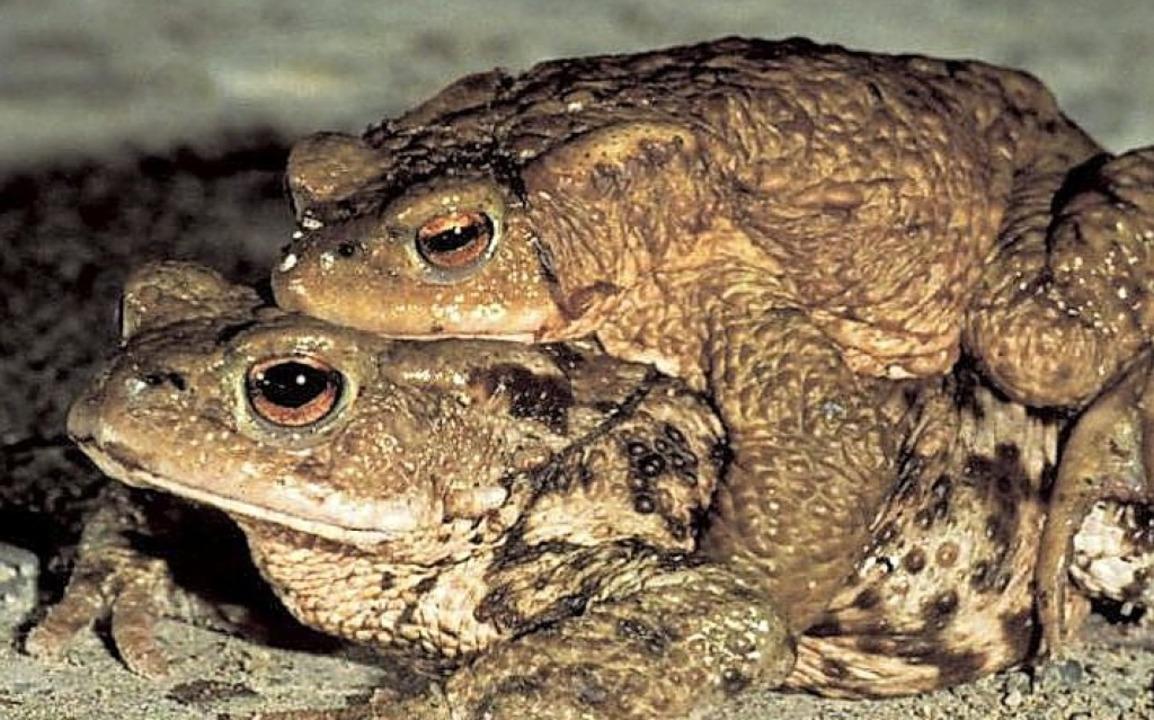 Bei den Erdkröten tragen die Weibchen ...n Grasfrösche, Molche und Salamander.     Foto:  BUND