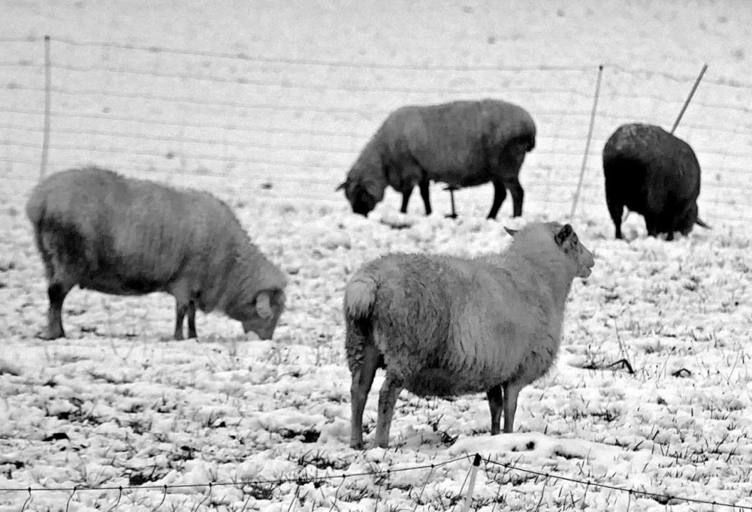 Auch Schafe mussten Schnee wegräumen, um ans Gras zu kommen.    Foto: Christian Ringwald