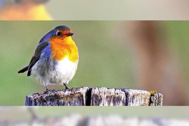Dieser Vogel ist kein Feigling