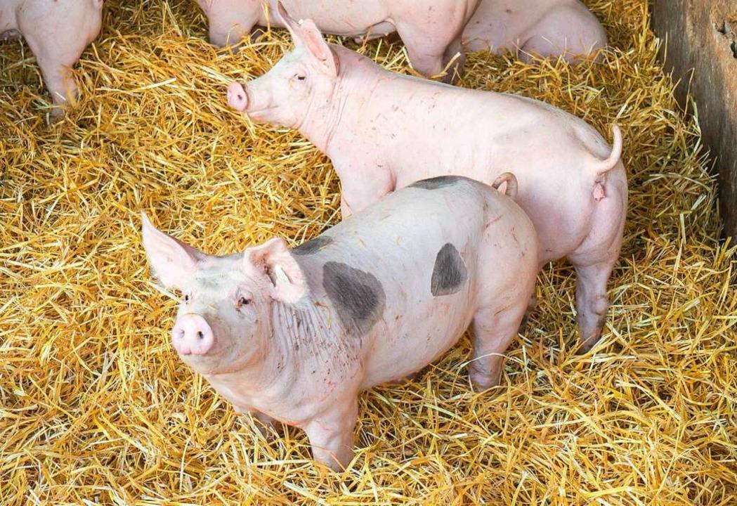 Die Schweine der Metzgerei Reichenbach leben artgerecht und haben viel Platz.  | Foto: Metzgerei Reichenbach