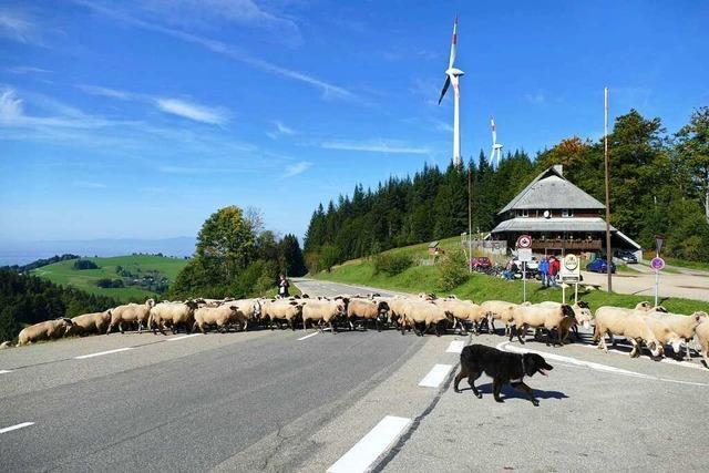 Achtung, Schafe! Tierische Straßensperre an der Holzschlägermatte