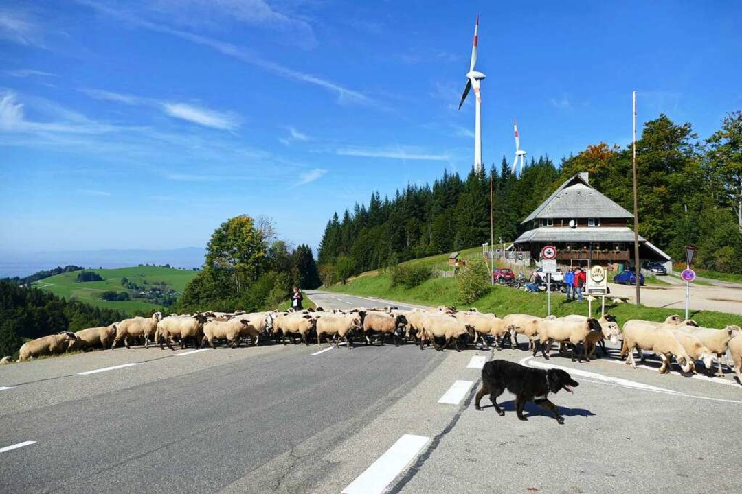 Tierische Straßensperre an der Holzschlägermatte: Die Karawane zieht rüber.    Foto: Heinz Ney