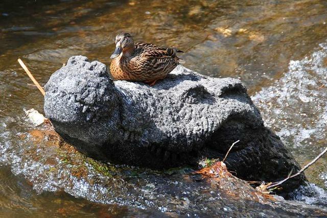 Diese mutige Ente macht auf dem Fischerau-Krokodil ein Päuschen
