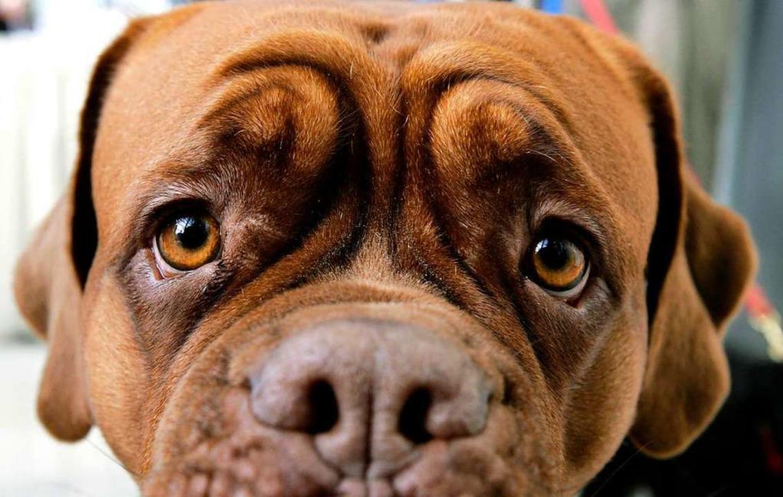 Hundeblick: Görwihls Hundehalter wehren sich gegen die Steuererhöhung.    Foto: dpa