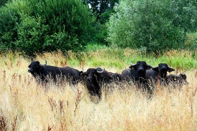 Glottertäler Metzgerei bietet Wasserbüffelfleisch an – aus dem Rieselfeld
