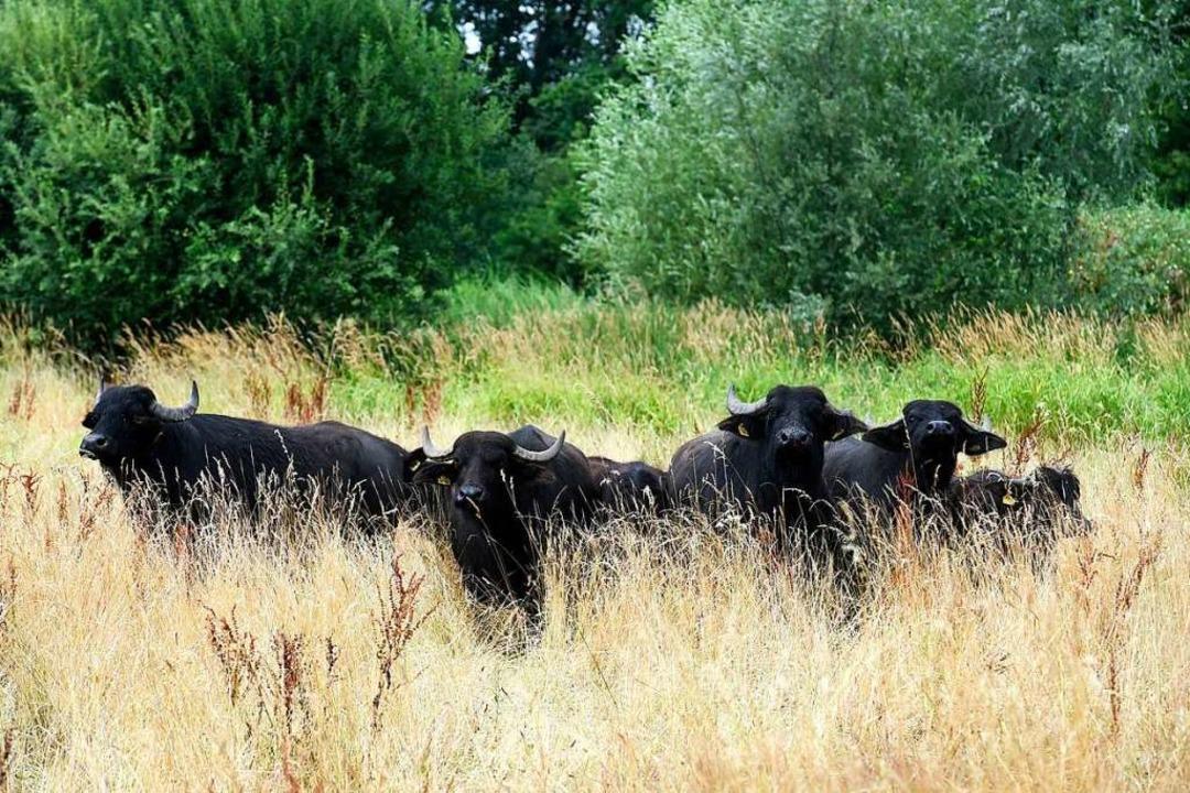 Landschaftspfleger mit Hörnern: Seit d...üffel im Naturschutzgebiet Rieselfeld.    Foto: Thomas Kunz