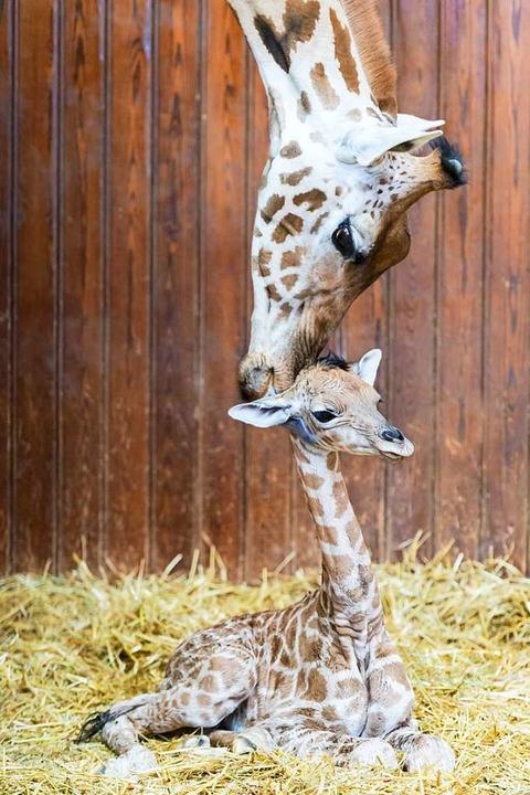 Penda mit ihrer Mutter Sophie  | Foto: Zoo Basel (Torben Weber)