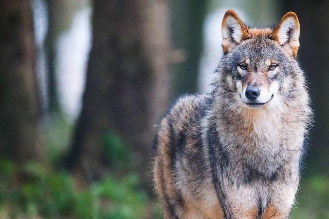Wie umgehen mit dem Wolf, der gern Nutztiere frisst?