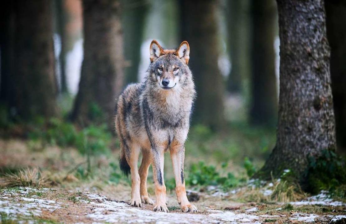 Der Wolf mag Schafe.  | Foto: dpa
