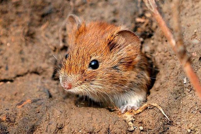 Warum gibt es verschiedenartige Mäuse?