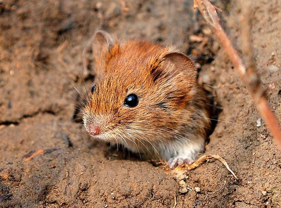 Eine Maus schlüpft aus ihrem Bau.   | Foto: dpa