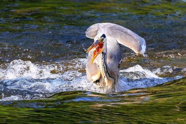 Graureiher auf Fischfang auf der Dreisam