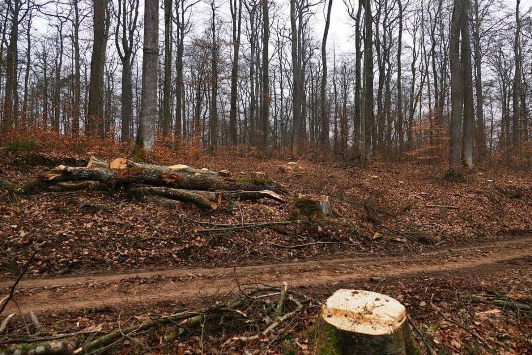 Am Eselweg wurden Bäume gefällt. Die G...hen von einem Orkan, der gewütet habe.  | Foto: Benedikt Hecht