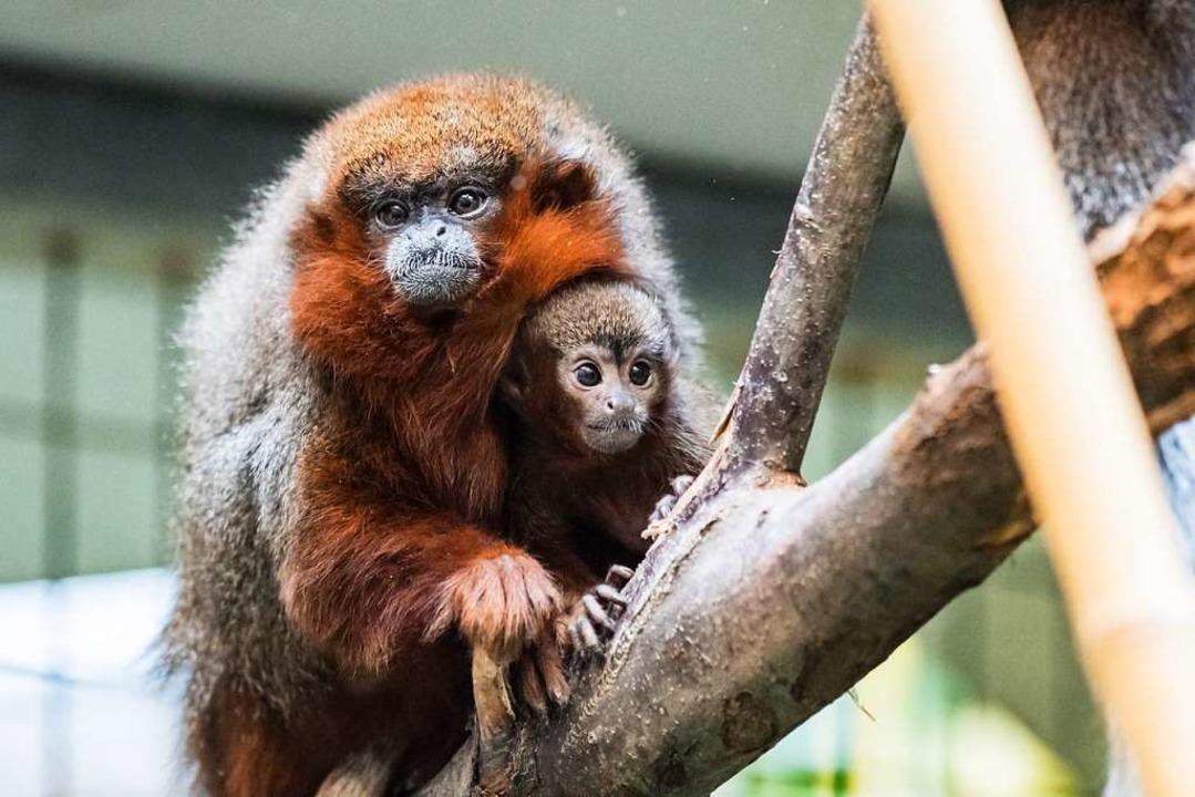 Grundrechte für Primaten? Ja, wenn es ... geht (Symbolbild aus dem Basler Zoo).  | Foto: Zoo Basel (Torben Weber)