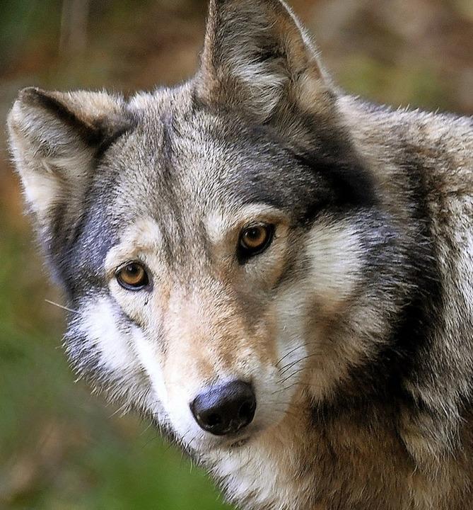 Der Wolf ist ein Jäger.    Foto: dpa