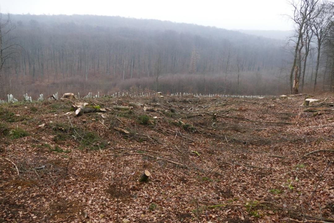 Holzfällarbeiten im Eichwald  | Foto: Benedikt Hecht