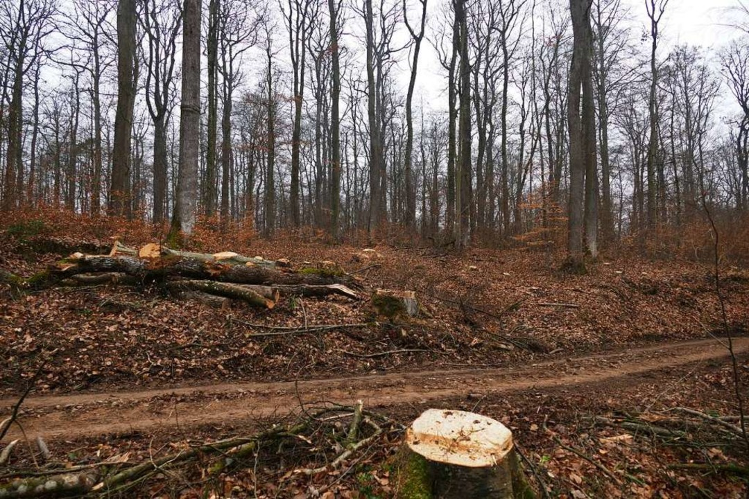 Holzfällarbeiten im Eichwald sorgen für Protest in Müllheim.  | Foto: Benedikt Hecht