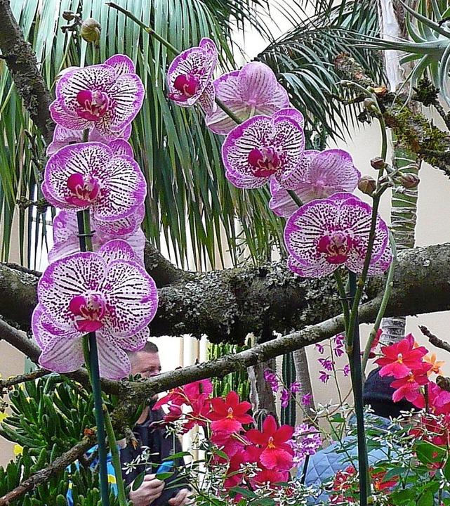 Farbenprächtige Orchideen sind bei der...Februar im Lahrer Stadtpark zu sehen.     Foto: Privat