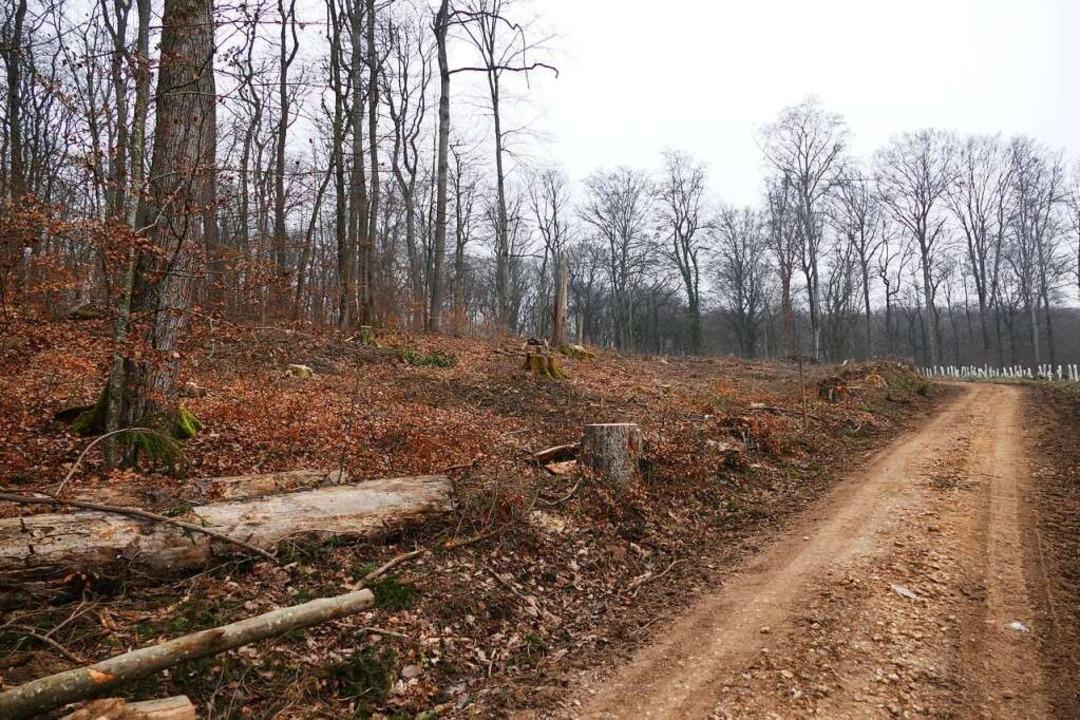 Im Eichwald waren zahlreiche Bäume gefällt worden.  | Foto: Benedikt Hecht