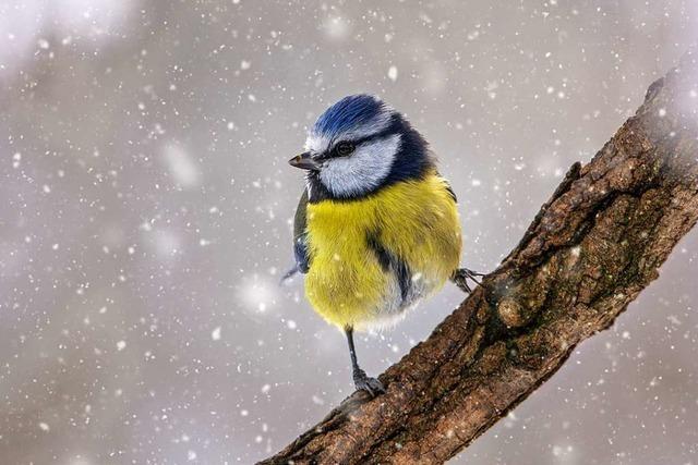 Weniger Wintervögel in deutschen Gärten gezählt