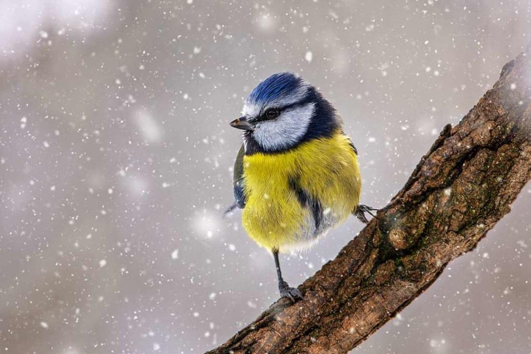 Wurde von Vogelliebhabern am vierthäufigsten gezählt: Die Blaumeise  | Foto: Andre