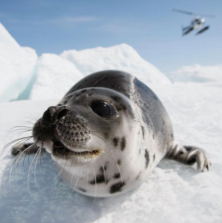 Eine Robbe in Kanada   | Foto: AFP