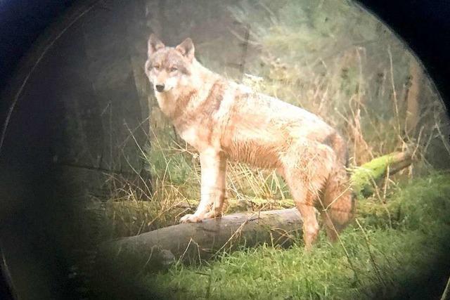 Ein Wolf hat in Wolfach ein Schaf gerissen – War es wieder