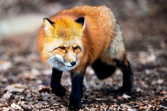 Tierschützer gegen Jäger: Ist es sinnvoll, Füchse zu erlegen?