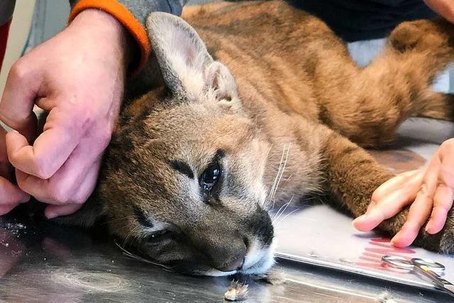 Baby-Puma wurde in Lahrer Wohnung gehalten