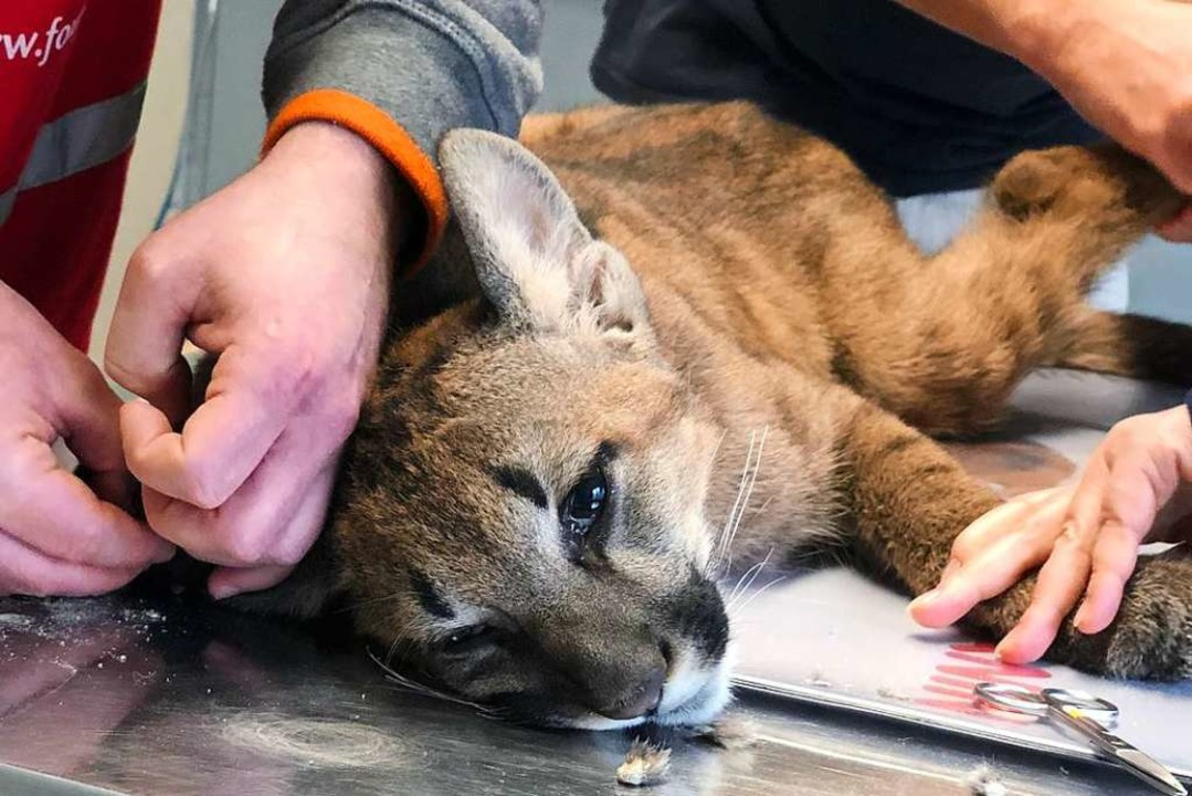 Der Puma in ärztlicher Behandlung  | Foto: Vier Pfoten Deutschland