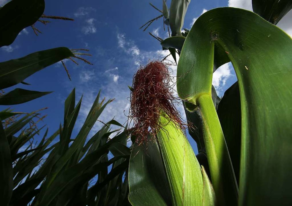 Vor allem Mais  und Weizen werden auf ...ietenbach-Areal angebaut. (Symbolbild)  | Foto: Oliver Berg