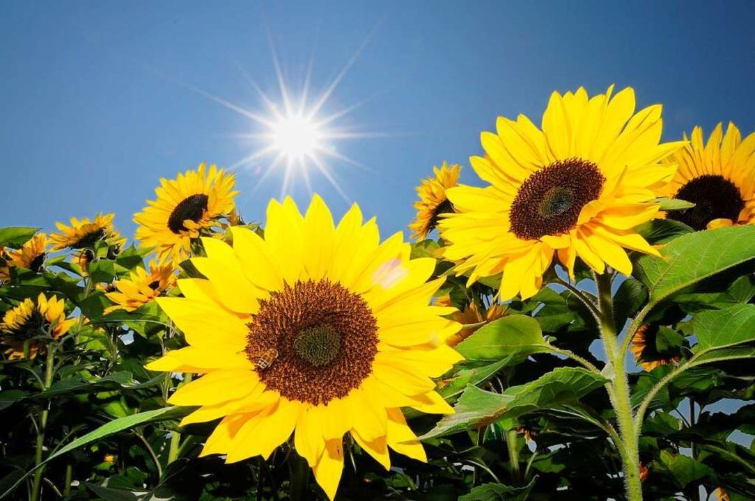 Sonnenblumen im Anbau  | Foto: Siegfried Gollrad