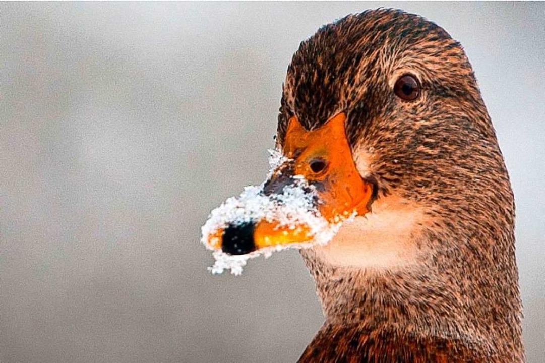 Gut gerüstet auch für den Winter: eine Ente  | Foto: Philipp Schulze