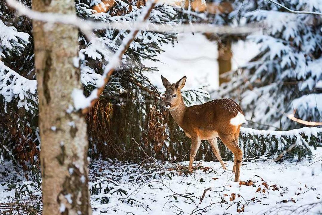 Braucht nur Hilfe, wenn die Schneedeck...ge geschlossen ist: Ein Reh im Winter.  | Foto: dpa