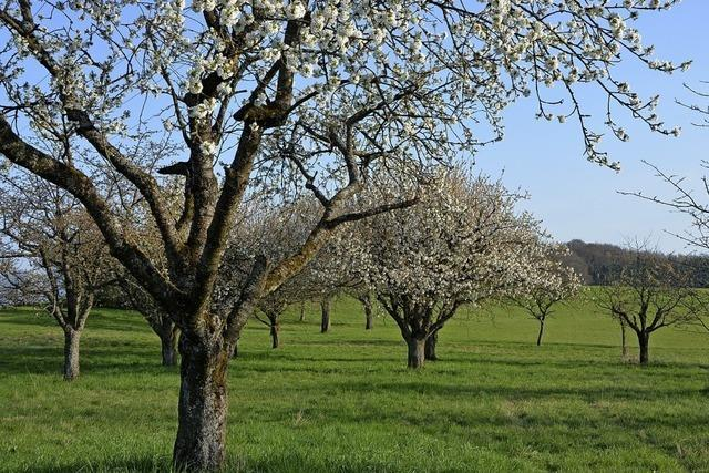Stadt soll Streuobstbäume selbst pflegen
