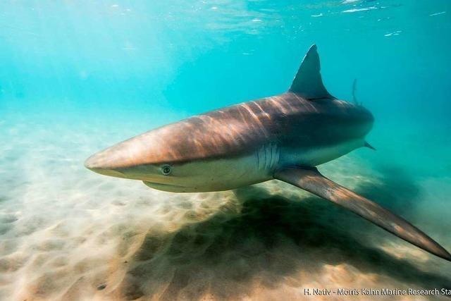 Vor Israels Küste schwimmen massenhaft Haie