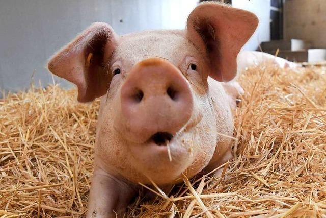 Agrarministerin Klöckner stellt staatliches Label für Tierwohl vor