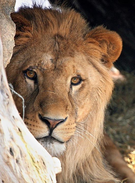 Beeindruckend so ein Löwe  | Foto: dpa