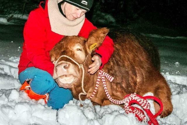 Entlaufene Kuh Büxi ist gefasst und wohlauf