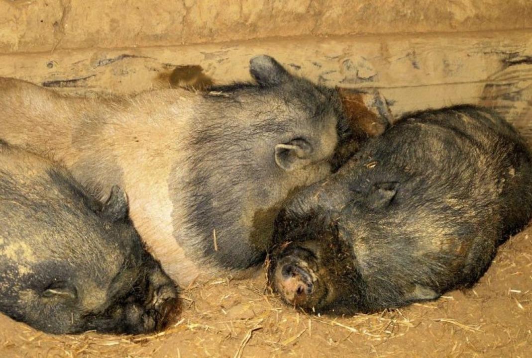 So gut wie diesen Schweinen geht es ni...n höheren Preisen niederschlagen muss.  | Foto: Jutta Schütz