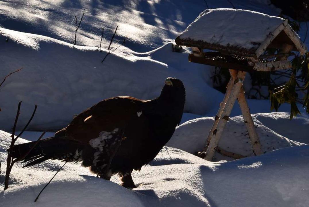Der selten gewordene Auerhahn wird in Todtnauberg immer wieder mal gesichtet.  | Foto: Ulrike Jäger