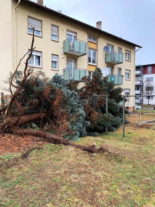 Umgestürzte Bäume in Weil am Rhein.  | Foto: Zur Verfügung gestellt