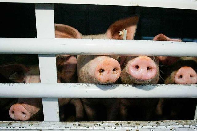 Bayrische Landkreise stoppen Tiertransporte wegen Tierquälerei