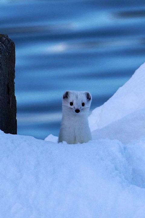 Herzig:   Schneehermeline   | Foto: Markus Emerich