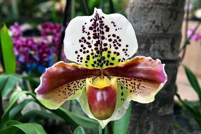 Elegante Frühlingsboten bei der Orchideenschau im Stadtpark