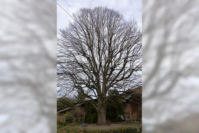 Ein Baum soll zum Denkmal werden